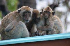 Nahaufnahme einer netten Affefamilie am Affeberg Khao Takiab in Hua Hin, Thailand, Asien Stockfoto