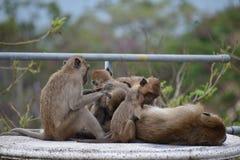 Nahaufnahme einer netten Affefamilie auf einer Tabelle am Affeberg Khao Takiab in Hua Hin, Thailand, Asien Lizenzfreie Stockfotos