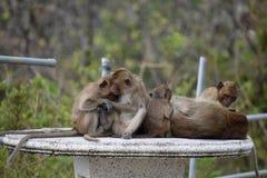 Nahaufnahme einer netten Affefamilie, die auf einer Tabelle am Affeberg Khao Takiab in Hua Hin, Thailand, Asien sitzt Lizenzfreie Stockbilder