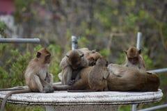 Nahaufnahme einer netten Affefamilie, die auf einer Tabelle am Affeberg Khao Takiab in Hua Hin, Thailand, Asien sitzt Stockfotografie