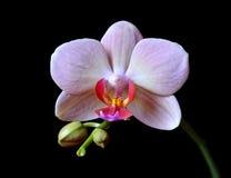 Nahaufnahme einer Orchidee Stockbild