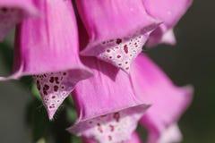 Nahaufnahme einer rosa Fingerhuts Stockfotografie
