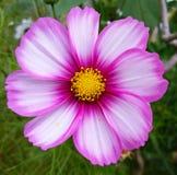 Nahaufnahme einer rosa Kosmosblume Lizenzfreies Stockbild