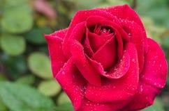 Nahaufnahme einer rosa Rose nach einem Regensturm mit flacher Sch?rfentiefe stockfotografie