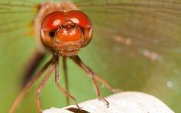 Nahaufnahme einer roten Libelle Stockbilder