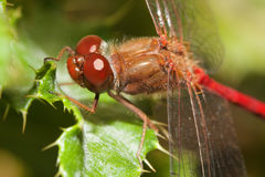 Nahaufnahme einer roten Libelle Lizenzfreie Stockfotografie