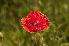 Nahaufnahme einer Rotmohnblume blüht auf einem einzel-farbigen grünen Hintergrund Stockfotos