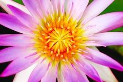 Nahaufnahme einer schönen purpurroten Seerose lizenzfreies stockbild