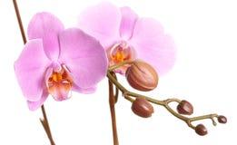 Nahaufnahme einer schönen rosafarbenen Phalaenopsisorchidee Lizenzfreies Stockbild