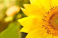 Nahaufnahme einer schönen Sonnenblume auf einem Gebiet Lizenzfreies Stockfoto