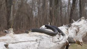 Nahaufnahme einer Schlange auf einem trockenen Baum stock video