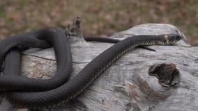 Nahaufnahme einer Schlange auf einem trockenen Baum stock footage