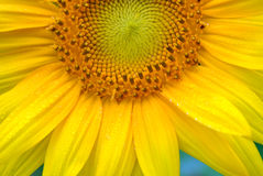 Nahaufnahme einer Sonnenblume Stockfotografie