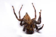Nahaufnahme einer springenden Spinne Lizenzfreie Stockfotos