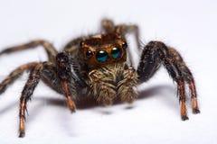 Nahaufnahme einer springenden Spinne Lizenzfreie Stockfotografie