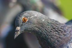 Nahaufnahme einer Taube Stockfoto