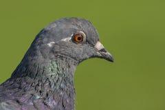 Nahaufnahme einer Taube, Beschneidungspfad Lizenzfreie Stockbilder