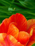 Nahaufnahme einer Tulpe Lizenzfreie Stockfotografie