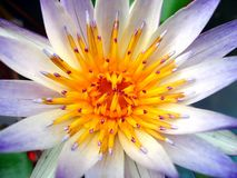 Nahaufnahme einer Wasser-Lilie lizenzfreie stockfotos