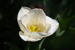 Nahaufnahme einer weißen Tulpe mit einer gelben Mitte stockfotografie