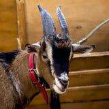 Nahaufnahme einer Ziege mit schönen Hörnern und Wolle in einem roten Kragen Kluger und wachsamer Blick einer Ziege Konzept Stockfotografie