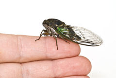 Nahaufnahme einer Zikade auf einem Finger Stockfoto