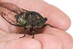 Nahaufnahme einer Zikade auf einer Hand Lizenzfreies Stockfoto