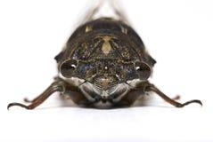 Nahaufnahme einer Zikade getrennt auf Weiß Lizenzfreies Stockfoto