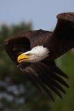 Nahaufnahme eines amerikanischen kahlen Adlers im Flug Stockbild