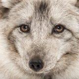 Nahaufnahme eines arktischen Fuchses, Vulpes Lagopus Lizenzfreie Stockfotografie