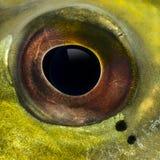 Nahaufnahme eines Auges des Fisches Stockbilder