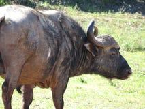 Nahaufnahme eines Büffels Stockbilder