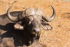 Nahaufnahme eines Büffels lizenzfreies stockbild