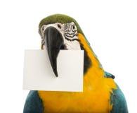 Nahaufnahme eines Blau-und-gelben Macaw, Ara ararauna, 30 Jahre alt, eine weiße Karte in seinem Schnabel anhalten Stockfotografie