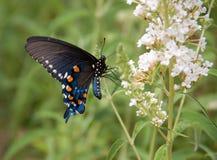 Nahaufnahme eines blauen Swallowtail-Schmetterlinges mit weißen Blumen lizenzfreie stockfotografie