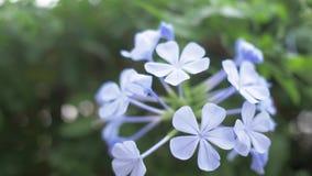 Nahaufnahme eines blauen Zierpflanzenbaus auf der Insel von Kreta 4K stock footage