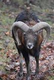Nahaufnahme eines braunen RAMs in einem Wald in Deutschland Stockbild