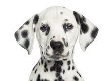 Nahaufnahme eines dalmatinischen Welpen, der, die Kamera betrachtend gegenüberstellt Stockbild