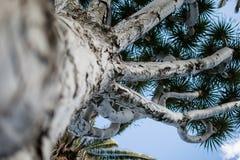 Nahaufnahme eines Drachenbaums lizenzfreies stockbild
