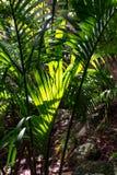 Nahaufnahme eines einzelnen Palmenbaumasts belichtet durch Sonnenlicht in einem dunklen und dichten subtropischen Regenwald lizenzfreies stockbild