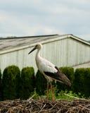Nahaufnahme eines einzelnen Storchs in einem Nest Stockfotografie