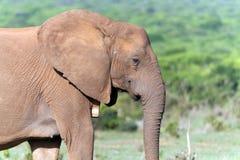 Nahaufnahme eines Elefanten in Addo National Park Lizenzfreies Stockfoto