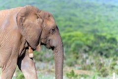 Nahaufnahme eines Elefanten in Addo National Park Stockbild