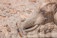 Nahaufnahme eines Elefanten, der mudbath nimmt stockfotos