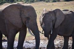 Nahaufnahme eines Elefantpaares in Addo Elephant Park in Colchester, Südafrika Lizenzfreies Stockfoto