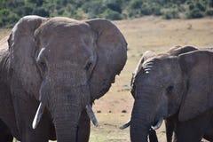 Nahaufnahme eines Elefantpaares in Addo Elephant Park in Colchester, Südafrika Lizenzfreies Stockbild