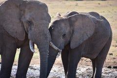 Nahaufnahme eines Elefantpaares in Addo Elephant Park in Colchester, Südafrika Lizenzfreie Stockfotos