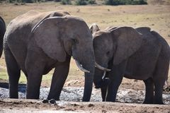 Nahaufnahme eines Elefantpaares in Addo Elephant Park in Colchester, Südafrika Stockbild