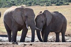 Nahaufnahme eines Elefantpaares in Addo Elephant Park in Colchester, Südafrika Stockfotografie