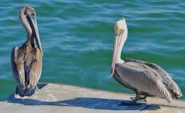 Nahaufnahme eines erwachsenen nordamerikanischen braunen Pelikans, der mit einem jüngeren Vogel am Rand eines Docks steht stockfotos